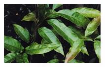 アヤナスの通販はコチラ!カサカサ肌に効果が高い肌に優しい化粧品といえばディセンシアのアヤナス